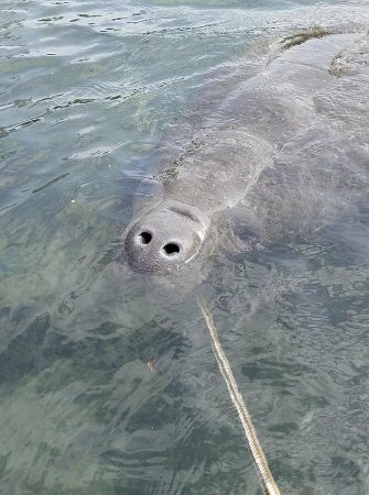 Snorkel With The Manatees: He was a casa nova wanting attention!