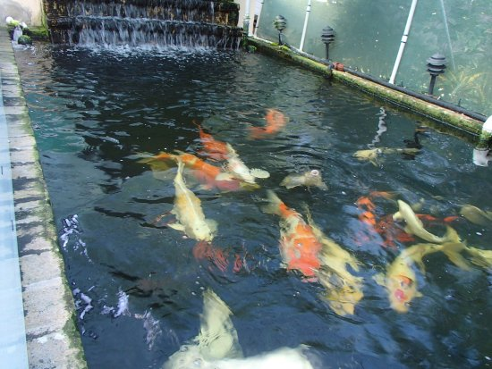 Saint Philip Parish, Barbados: Koi in all their splendor.