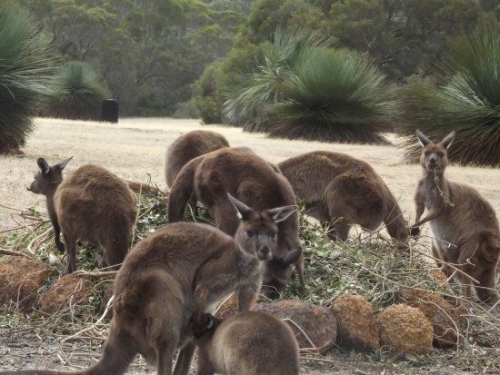Seddon, Australia: kangaroos dining on garden trimmings