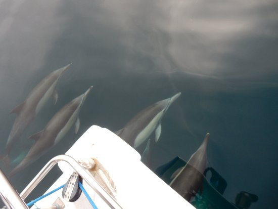 Dana Point, CA: Long nosed common dolphins
