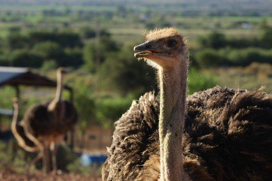 Oudtshoorn, South Africa: Meet an ostrich