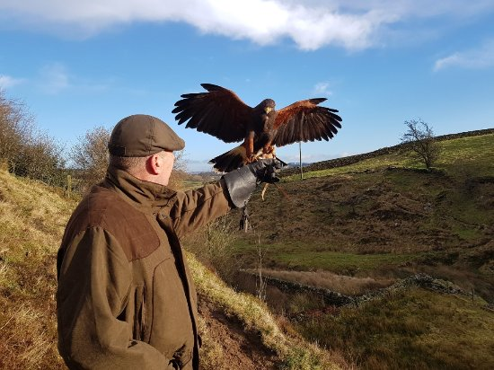 Oxenhope, UK: Working with 'Holly' the Harris Hawk