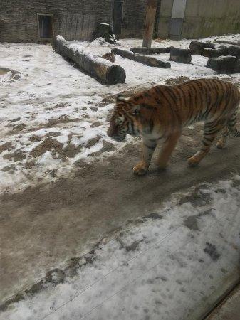 Krakow Zoo (Ogrod Zoologiczny): Tiger