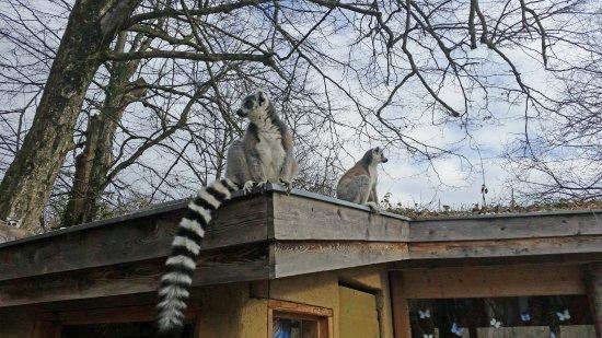 Anif, Österreich: Freilaufende Katta Lemuren