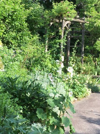 Marston House Wiscasset: White Hollyhocks in bloom ...