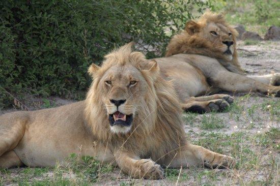 Savute Safari Lodge: Foto desde el jeep, leones a 3 metros