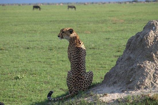 Savute Safari Lodge: La Chita nos seguía para sentarse a la sombre del Jeep