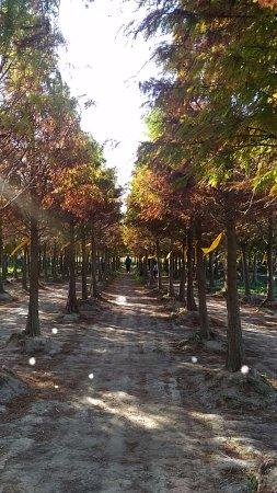 Chungbuk Fall Pine