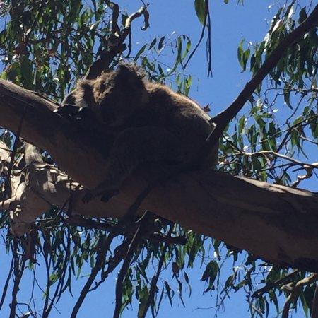 Phillip Island Nature Parks - Koala Conservation Centre: photo1.jpg