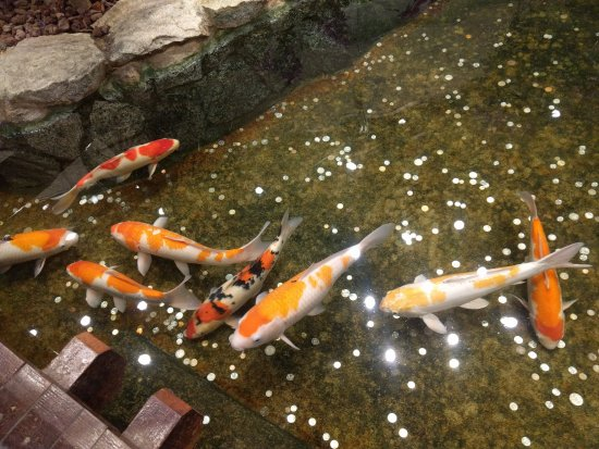 Koi in the koi pond picture of orchid garden koi pond for Koi pond india