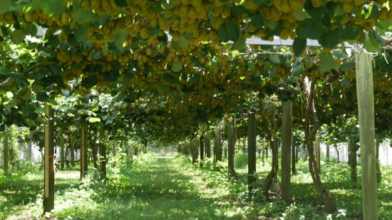 Paengaroa, New Zealand: Kiwifruit orchard