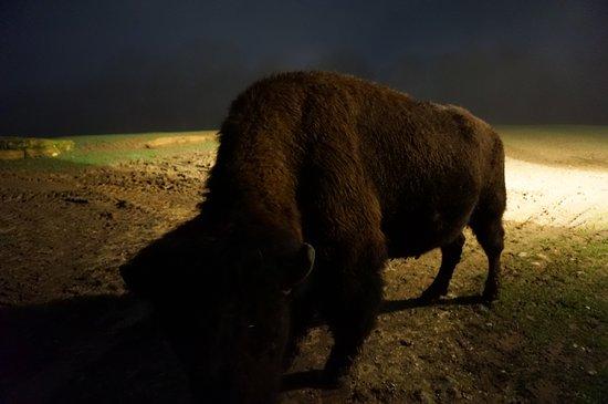 Villefranche-du-Perigord, France: bison