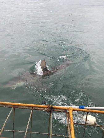 White Shark Diving Company: Bronze Sharks