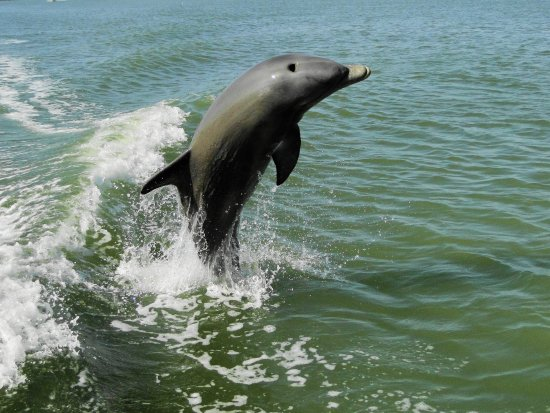 Chokoloskee, FL: We see dolphins an most every Everglades National Park Dolphin, Birding and Wildlife Photo Tour