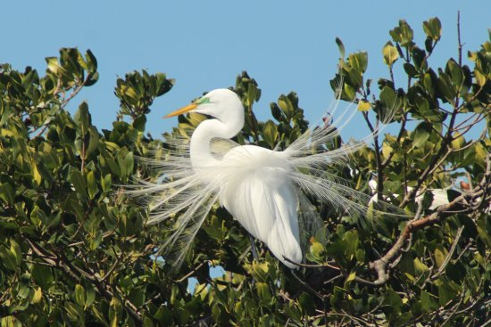 Everglades Boat Tours: Great Egret in breeding plumage - Everglades National Park Dolphin, Birding and Wildlife Photo T