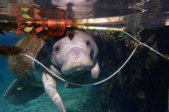 VIP Manatee Swim Tour