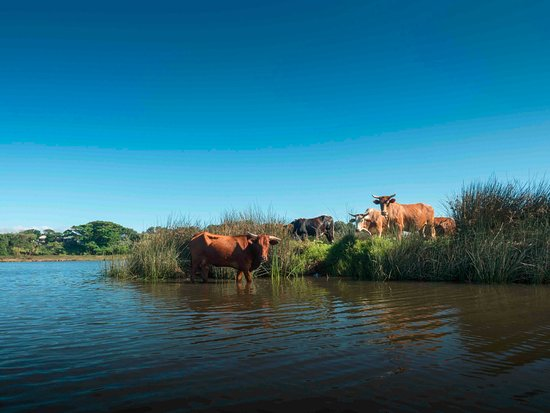 Mbotyi River Lodge: Cows walk out to the island in the lagoon, photographed from our canoe.
