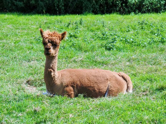 Milton Abbas, UK: Alpacas