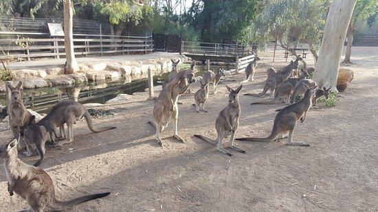 ניר דוד, ישראל: Kangaroos