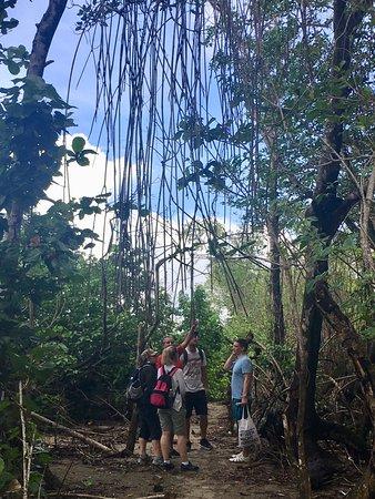 Gaspar Hernandez, República Dominicana: Mangroven-Wald und Erläuterungen dazu...