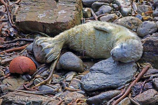 South Ronaldsay, UK: Grey Seal Pup, South Ronaldsay.