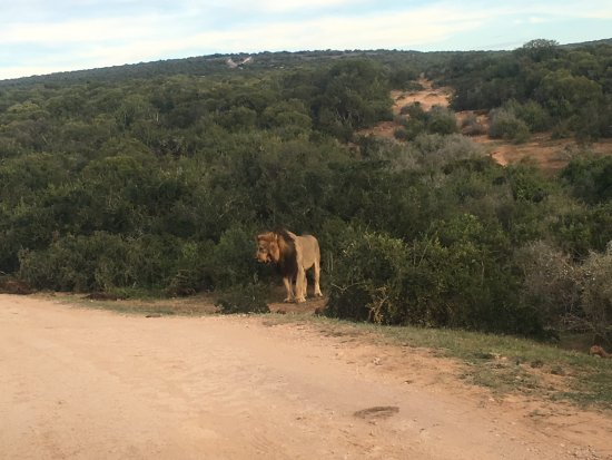 Аддо, Южная Африка: lions found in the addo park on a full day tour