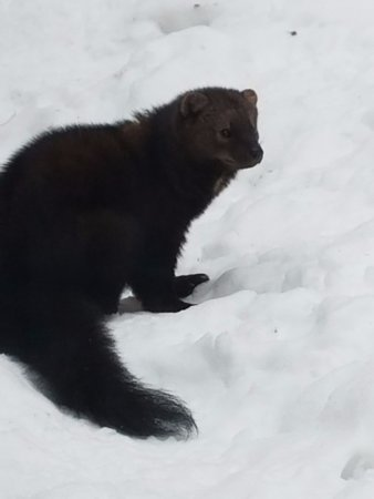 Squam Lakes Natural Science Center: Fischer from snowshoe walk