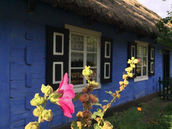 Maurzyce, بولندا: 八月に咲くポーランドらしい花、malwa (英語名:mallow )