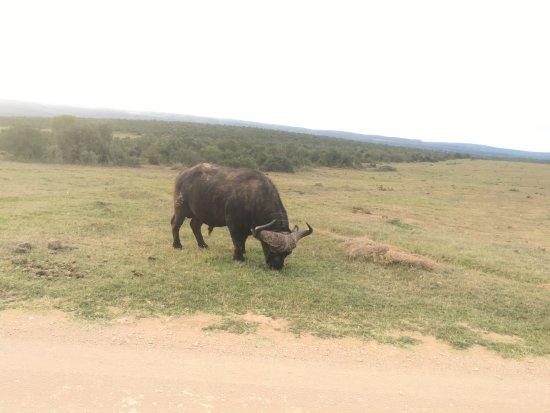 Addo, Sydafrika: buffalo