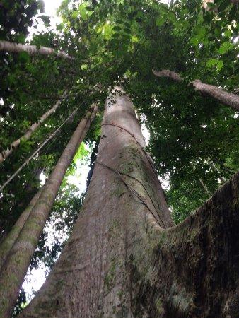 Taman Negara National Park: Highest tree in Malaysia