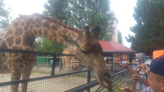 Bilohirsk: Жирафы предпочитают петрушку