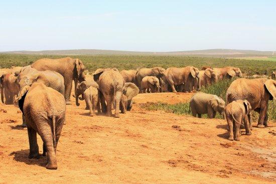 Addo, Sydafrika: giants in numbers always nice to veiw Elephants
