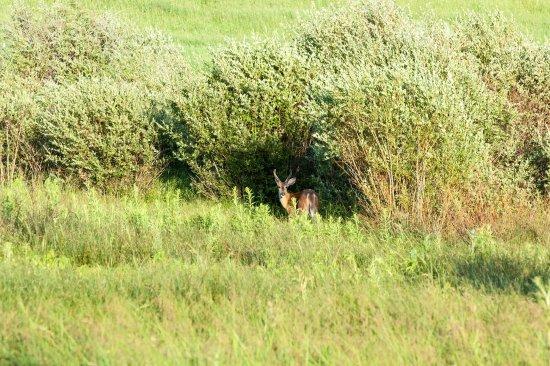 Arlee, มอนแทนา: Deer hiding in the bushes in The Russian Olive backyard