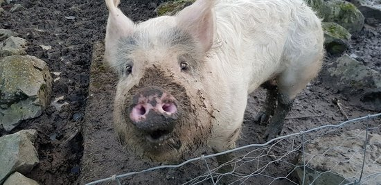 Minsterley, UK: charlie the pig