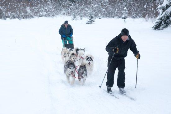 Bigfork, MT: Owner guiding dogs