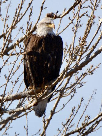 An American Bald Eagle watching us pass by  - Picture of