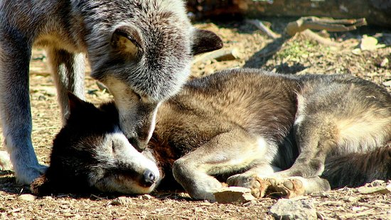 Wolf Sanctuary of PA: Two wolves in a snuggle
