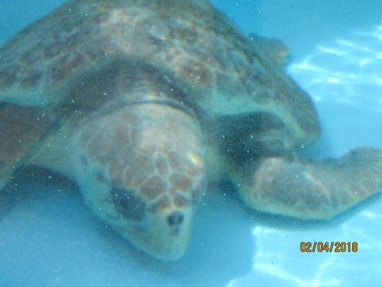Juno Beach, FL: Reccovering turtle