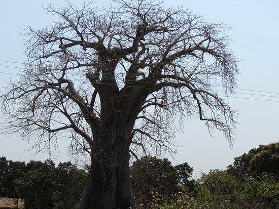 Nampula Province, Mosambik: Baobá- Moçambique