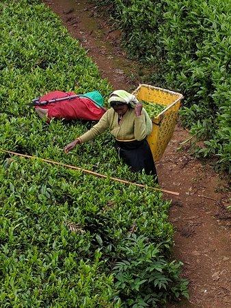 Geo Adventures: Tea plucking in Nuwara Eliya.