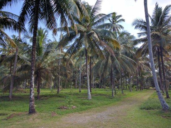Geo Adventures: Coconut estate in Kurunegala.