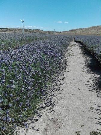 Mackenzie District, Nieuw-Zeeland: New Zealand Alpine Lavender Farm