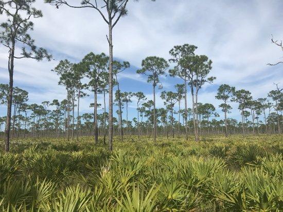 Hobe Sound, FL: Pine flats
