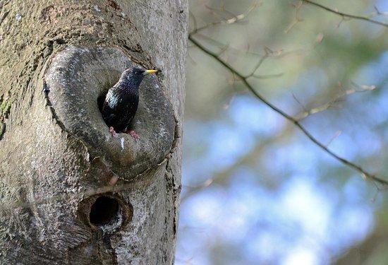 Pléhédel, France : Un étourneau sansonnet du jardin de pierre