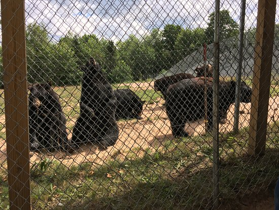 Oswald's Bear Ranch: They want Apples