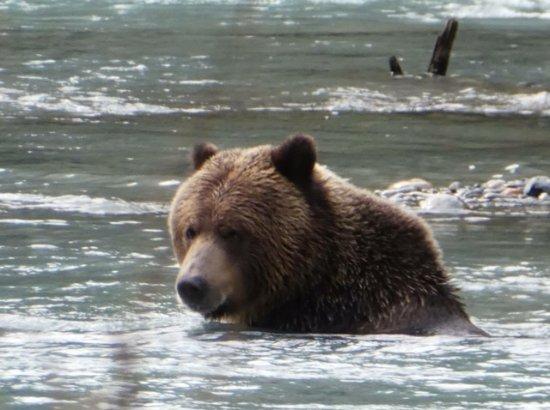 Money Pennies B&B: Grizzly bears