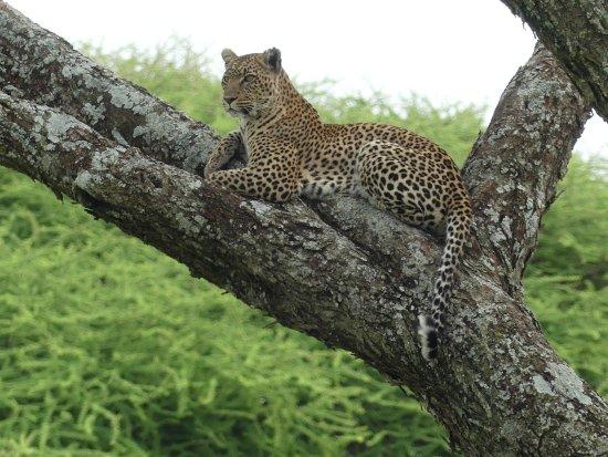 Safaris-R-Us: Leopard watching nearby Warthogs, Serengeti