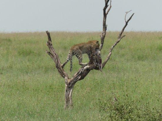 Safaris-R-Us: Leopard with baby Warthog, Serengeti