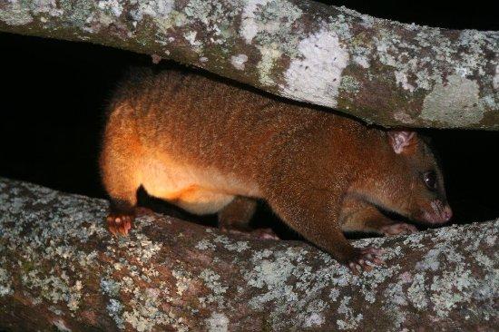 Malanda, Australia: Wildlife at night