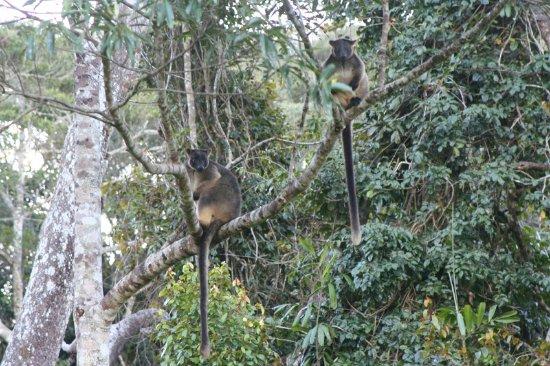 Malanda, Australia: Tree Kangaroos - Yes some Kangaroos live in the trees!